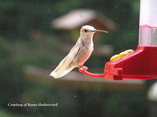 Leucistic Hummingbird at a Feeder