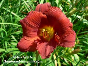 Red Day Lily from our Hummingbird Garden