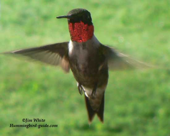 Male Ruby-throated Hummingbird in Flight