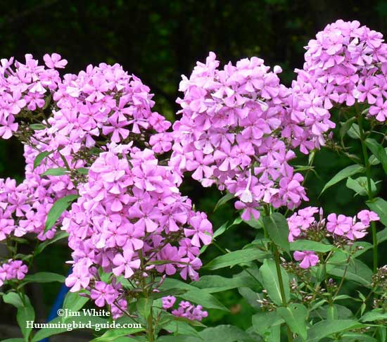 Phlox in our perennial garden for hummingbirds.