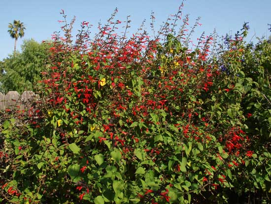 the bright red salvia is best for but we have seen them visiting other colors often such as the purple salvia and mixed salvia - Salvia Plant