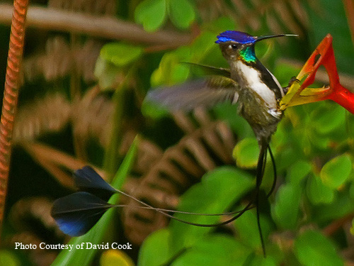 Spatuletail Hummingbird