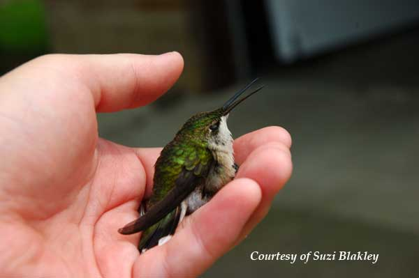 Gently Holding a Hummingbird
