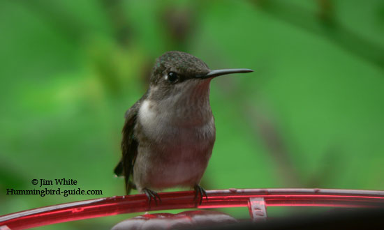 A photo through our kitchen window of a female Ruby-throated hummer at our window feeder.