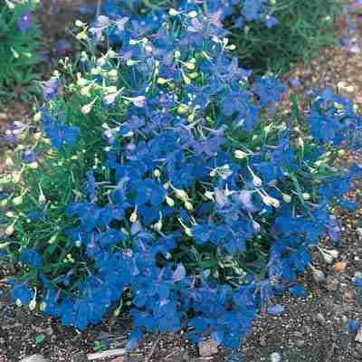 Flowers that attract hummingbirds our personal recommendations one of our favorite new perennials the deep blue flowers of blue butterfly delphinium begins in summer a reappear all season this rare dwarf delphinium mightylinksfo