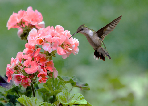 Hummingbird at Flower