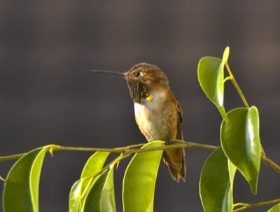 Allen Hummingbird