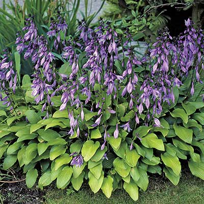 Hostas For Hummingbirds How To Plant