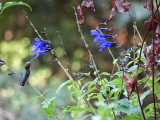 Ruby Red Throat drinking from salvia