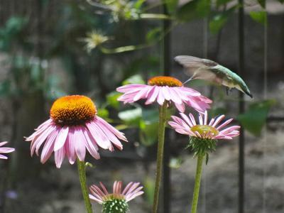 Hummingbird visiting coneflowers