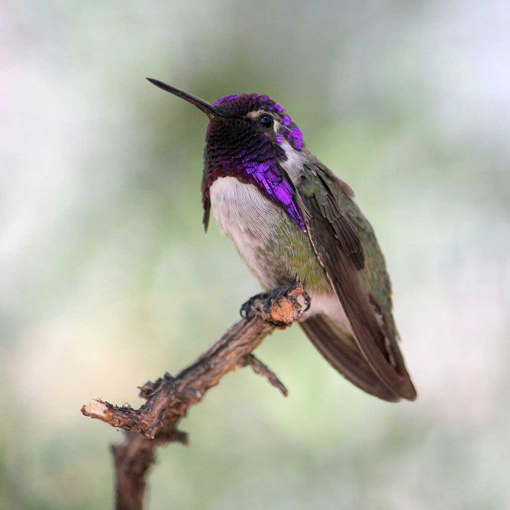 Costas Hummingbird
