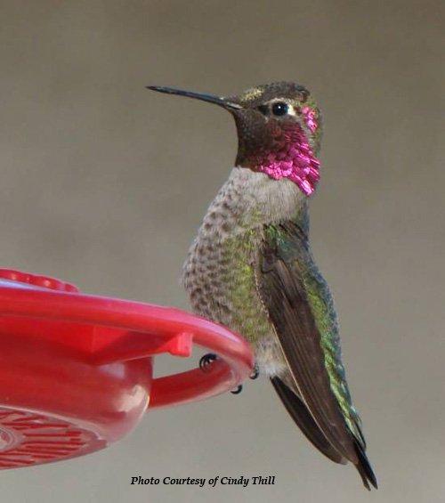 Hummingbird masturbate