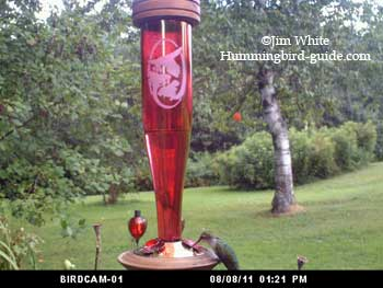 Hummer at the Ruby Etched Glass Feeder