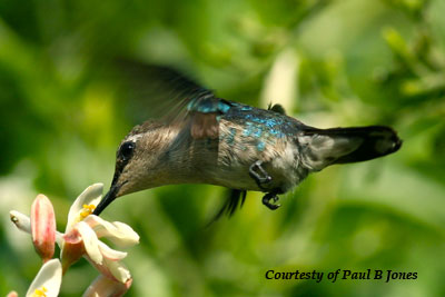 Female Bee Hummingbird