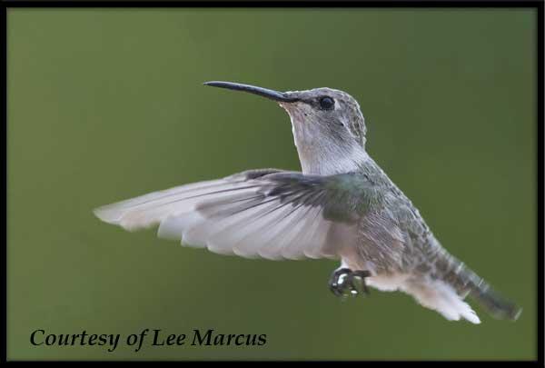 Female Costa's Hummingbird in Flight