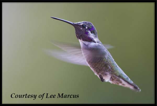 Male Costa's Hummingbird in Flight