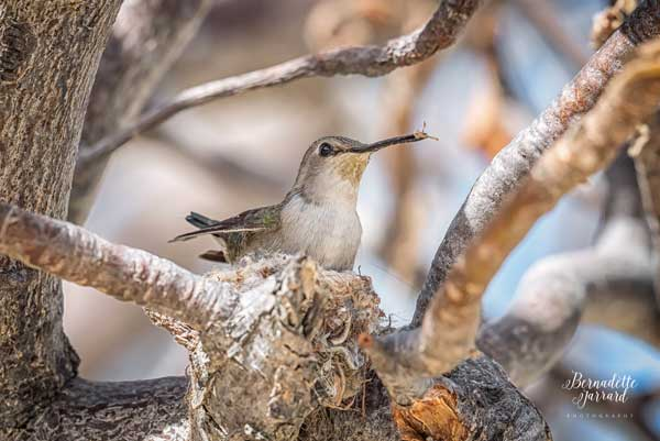 Female Costa's Hummingbird in Nest