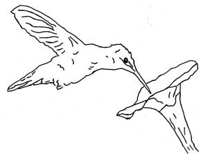 ruby throated hummingbird at flower coloring page