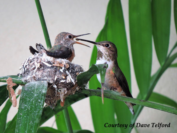 Female Allen's Hummingbird feeding her young.