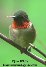 Jim's Photo of a Male Ruby-throated hummingbird.