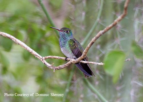 Honduran Emerald Hummingbird
