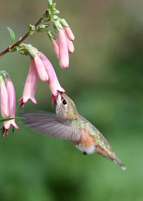 Hummingbird at Cape Fuchsia