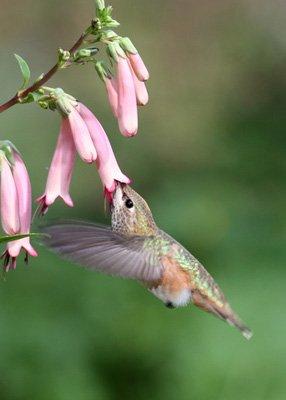 Hummingbird at Cape Fuchsia