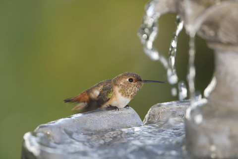 Hummingbird food from water
