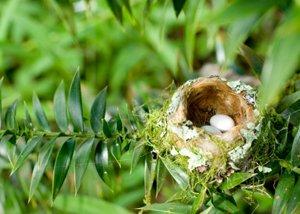 Hummingbird Eggs in Nest