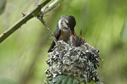 Mother Hummingbird Feeding Babies