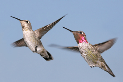 Male and Female Flying Hummingbirds