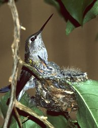 Hummingbird with babies in nest