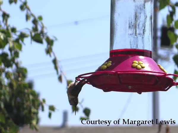 Hummingbird Sleeping on a Feeder