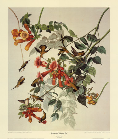 Ruby-throated painting by James Audubon