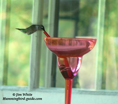 Margarita Hummingbird on our back porch.