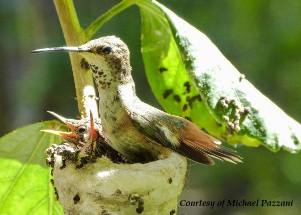Female Allen's Hummingbird in her nest.