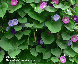 Morning Glory Cluster