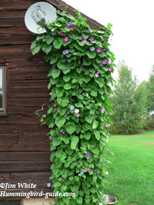 Morning Glory Vine on Our House