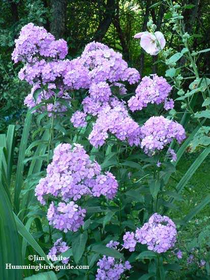 Lanender Phlox in our hummingbird perennial garden.