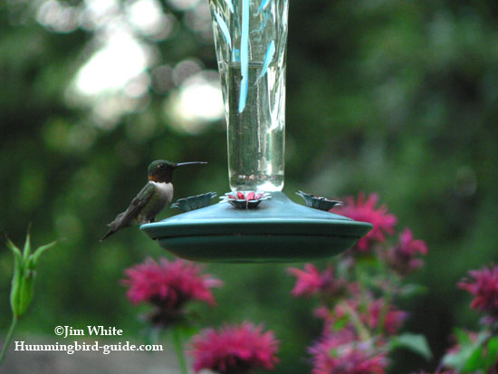 Our hummingbird garden feeder filled with homemade hummingbird food.