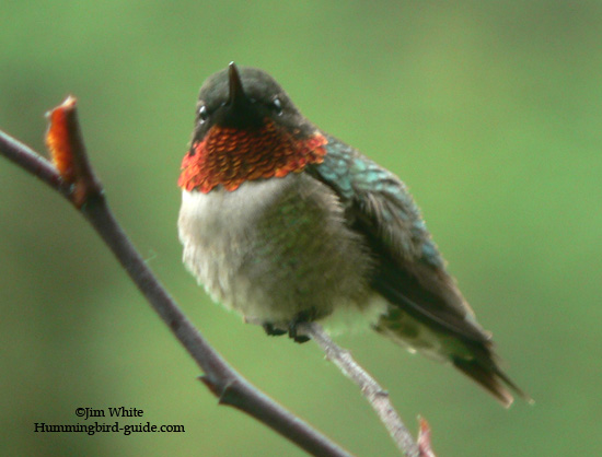 Male Ruby-throated Hummingbird on Our Rose Bush