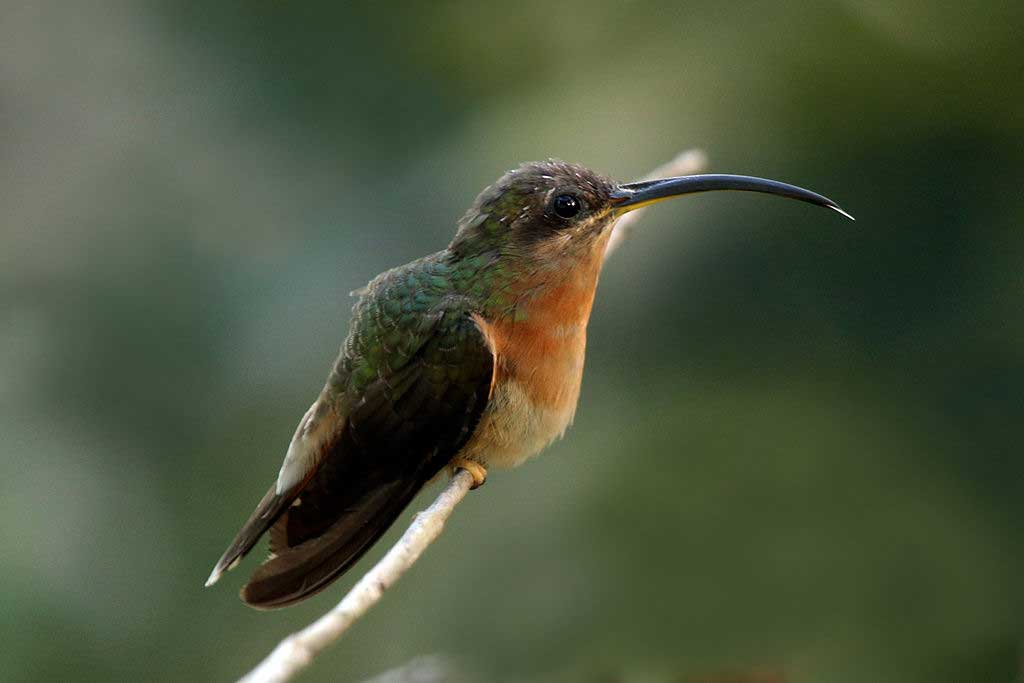 Rufous Breasted Hermit