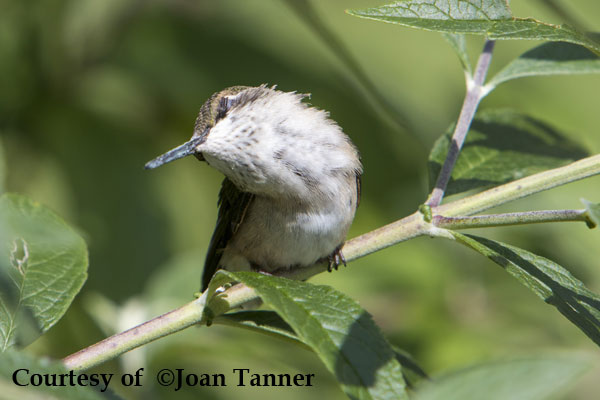 Hummingbird in Torpor